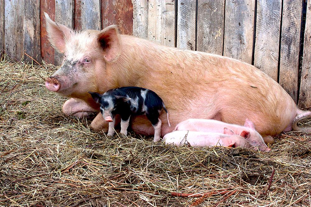 Rheinthal-viande-charcuterie-cochon