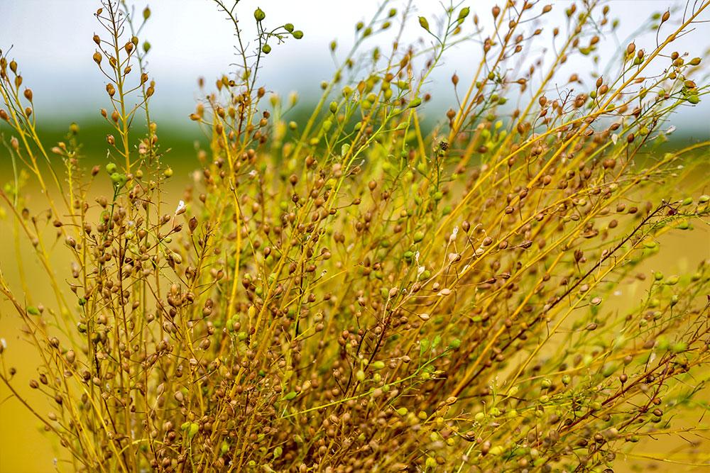 plante-cameline-epicurien-agrotourisme-dorothee